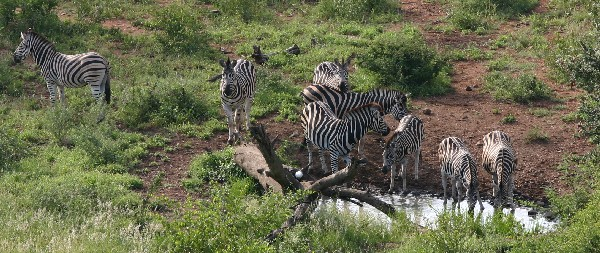 A few zebras at a watering hole